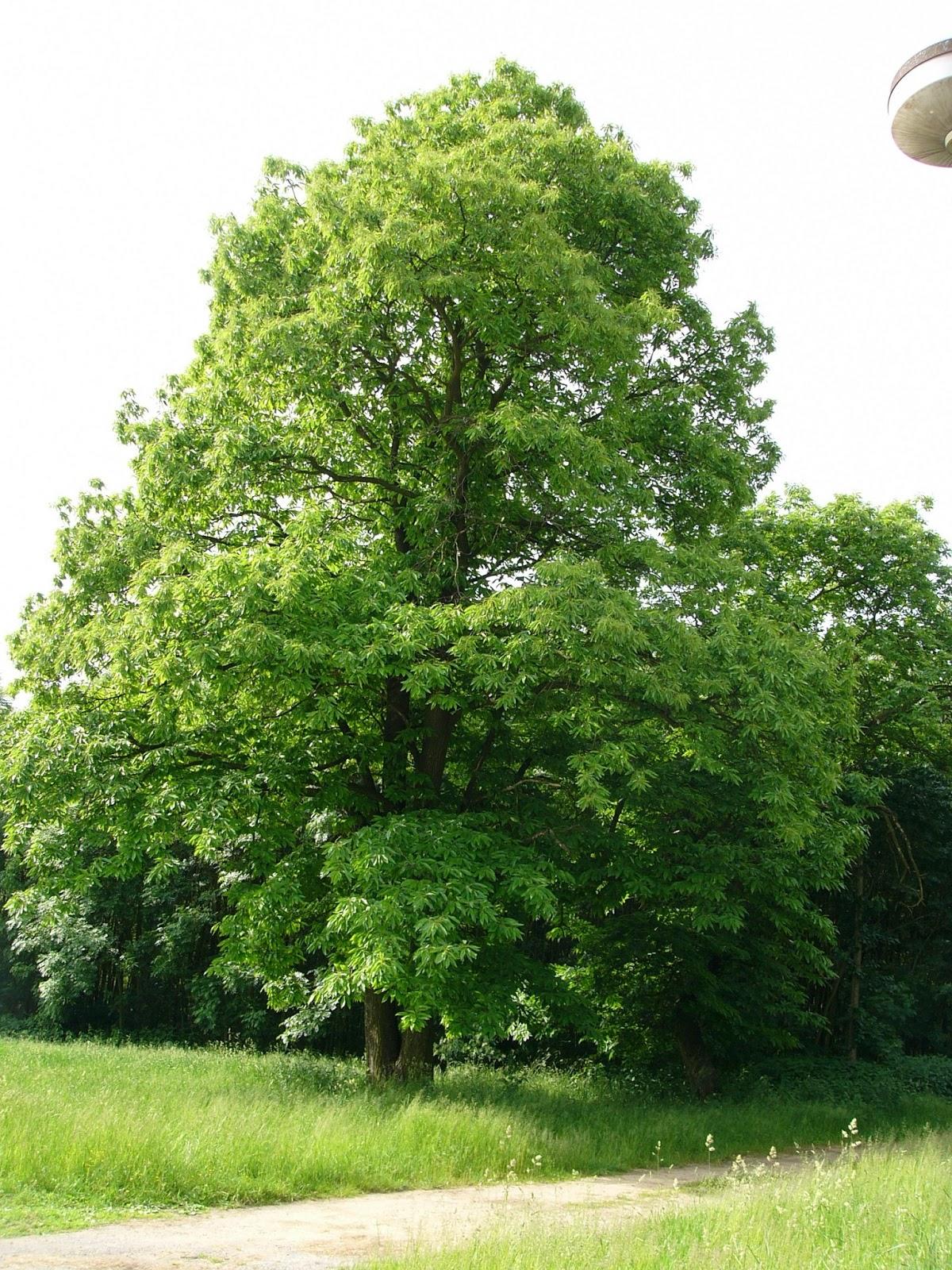 Castanea sativa sweet chestnut permaculture eden for The chestnut