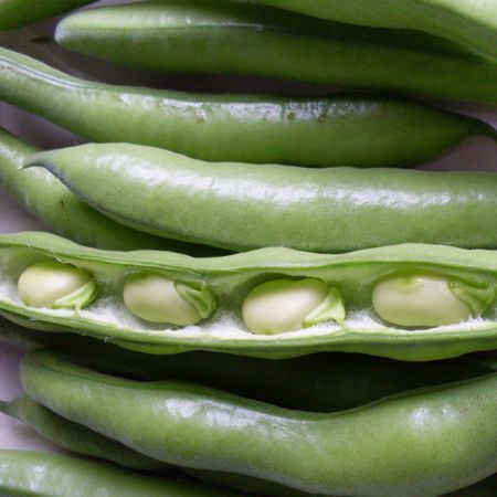 broad-beans-aquadulche-claudia