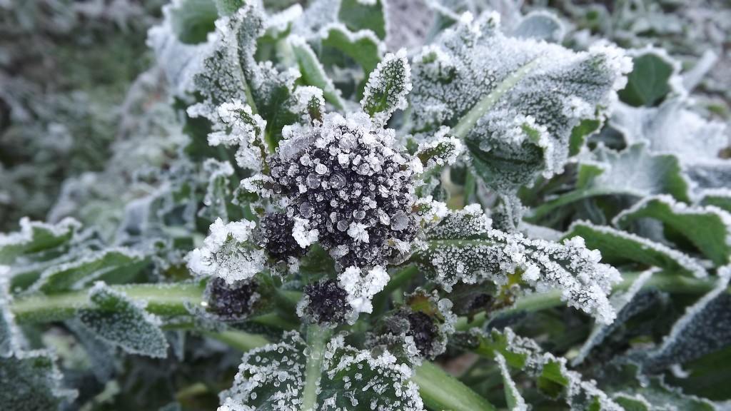 Frost on Purple Sprouting