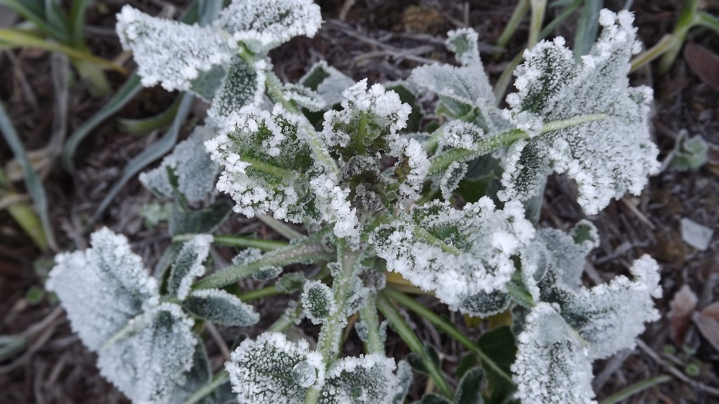 Frost on Purple Sprouting 2