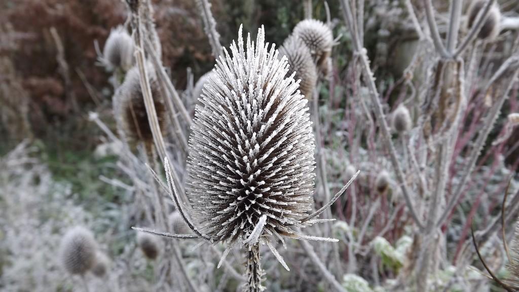 Frost on eryngium