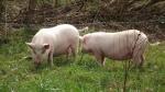 pigs break out 004.jpg