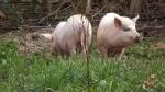 pigs break out 011.jpg