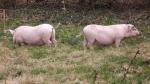 pigs break out 016.jpg