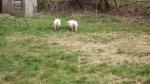 pigs break out 019.jpg