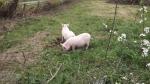 pigs break out 025.jpg