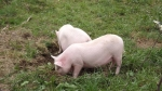 pigs break out 026.jpg