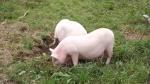 pigs break out 027.jpg