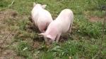 pigs break out 038.jpg