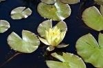 Lilly pond.jpg